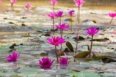 Rosa lotos på vattnet royaltyfri fotografi