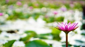 Rosa Lotos, rosa Seerose im Garten Lizenzfreie Stockfotos