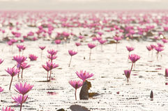 Rosa Lotos (Seerose) blossomin der Teich Stockbilder