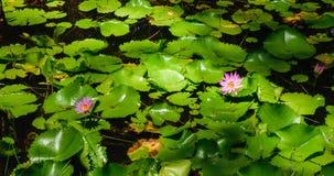 Rosa Lotos und glatte Lotosblätter im Teich Stockfoto