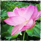 rosa Lotos in voller Blüte Stockfoto