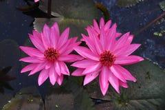 Rosa Lotos zwei auf dem Teich mit Blättern, wie zurück gerieben Lizenzfreie Stockfotos
