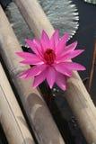 Rosa Lotos zwischen Bambus Stockfoto