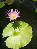 Rosa Lotosblüte über grünem Blatt Stockfoto