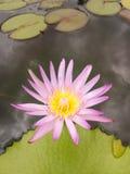 Rosa Lotosblüte über grünem Blatt Lizenzfreie Stockbilder