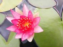 Rosa Lotosblüte über grünen Blättern Lizenzfreies Stockfoto
