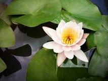 Rosa Lotosblüte über grünen Blättern Stockfotos