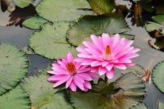 Rosa Lotosblüte im Teich Stockfotografie