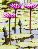 Rosa Lotosblüte oder Seeroseblume, die auf Teich blüht Stockfotografie