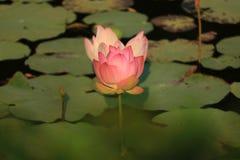 Rosa Lotosblume der Nahaufnahme Stockbild