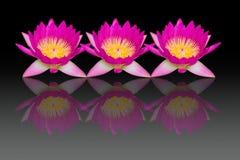 Rosa Lotosblumen mit Reflexion lokalisiert auf schwarzem Hintergrund Stockfotografie