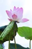 Rosa Lotus lizenzfreies stockbild