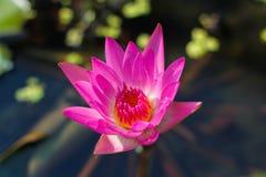 Rosa Lotus Stockbild