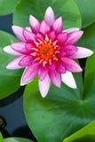 Rosa Lotus stockbilder
