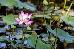 Rosa Lotus Royaltyfria Foton