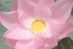 Rosa Lotus in der weichen Farbe Stockbilder