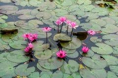 Rosa Lotus Field in Banglen, Nokornpatom, Thailand Lizenzfreies Stockfoto