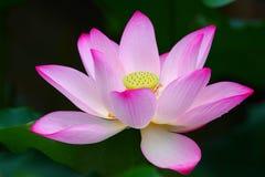 Rosa Lotus Flower Royaltyfri Fotografi