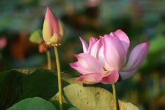 Rosa Lotus Flower und Knospe im Sonnenschein stockfoto