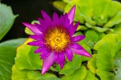 Rosa Lotus Flowers in Lily Pond Stockfotos