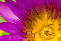 Rosa Lotus Flowers in Lily Pond Lizenzfreies Stockfoto