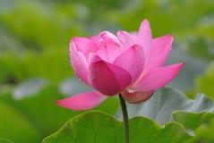 Rosa Lotus i regnet royaltyfri fotografi