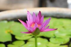 Rosa Lotus i vatten Royaltyfri Foto