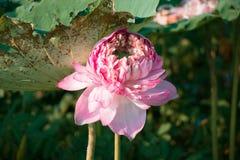 Rosa lotusblomma är blommande i sjön Royaltyfria Bilder