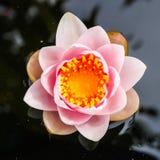 Rosa lotusblomma, övre mitt för slut av lotusblomma Royaltyfri Bild