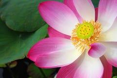 Rosa lotusblomma. Fotografering för Bildbyråer