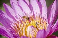 Rosa lotusblomma royaltyfri bild