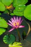 Rosa lotusblomma Arkivfoto
