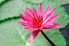 Rosa lotusblomma Fotografering för Bildbyråer