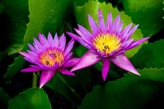 Rosa lotusblomma Royaltyfri Foto