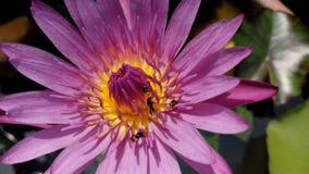 Rosa lotusblomma (3) Arkivbild