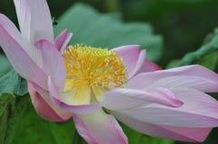 Rosa lotusblomma Royaltyfri Fotografi