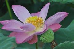 Rosa lotusblomma Arkivbilder