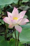 Rosa lotusblomma Royaltyfria Foton