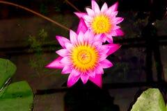 Rosa lotusblomma eller rosa färgnäckros Arkivfoton