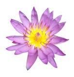 Rosa lotusblomma för härlig enkel blomning som isoleras på vit bakgrund arkivfoton
