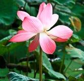 Rosa lotusblomma för vissnar under solsken Arkivfoton