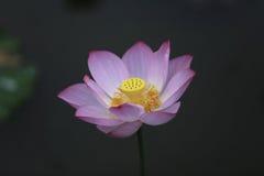 Rosa lotusblomma i den svarta bakgrunden royaltyfria foton