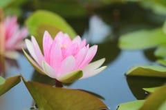 Rosa lotusblomma i ett damm med blom i morgonen Royaltyfri Fotografi