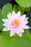 Rosa lotusblomma i ett damm med blom i morgonen Arkivfoton