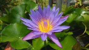 Rosa lotusblomma i försiktig wind lager videofilmer