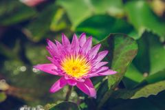 Rosa lotusblomma i naturbakgrund och grönska som är ny med tappning, filtrerar Royaltyfria Foton