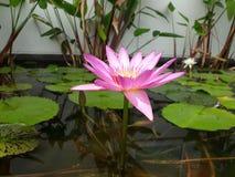 Rosa lotusblomma i pöl Arkivfoton