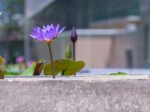 Rosa lotusblomma i staden Arkivbild
