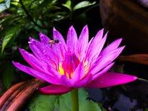 Rosa lotusblomma med biet Arkivfoto