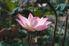 Rosa lotusblomma med INGET starkt solsken 2 arkivbild